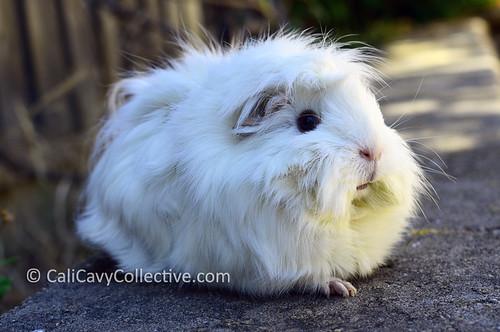 Fluffy guinea pig Abby-Roo