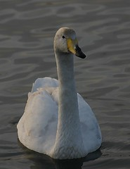 Whooper Swan WCPS by davidearlgray