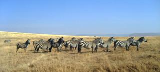 Zebraherde (Ngorongoro)