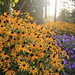 Small photo of Rudbeckia, late afternoon