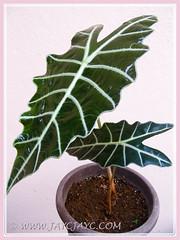 Our potted Alocasia sanderiana (Kris Plant, Sander's Alocasia), Oct 18 2013
