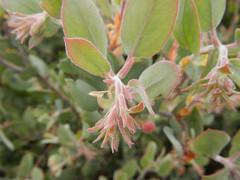Ericaceae - Arctostaphylos canescens ssp. canescens - HOARY MANZANITA SA