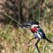 Small photo of Amazon Kingfisher - Ibera Wetlands