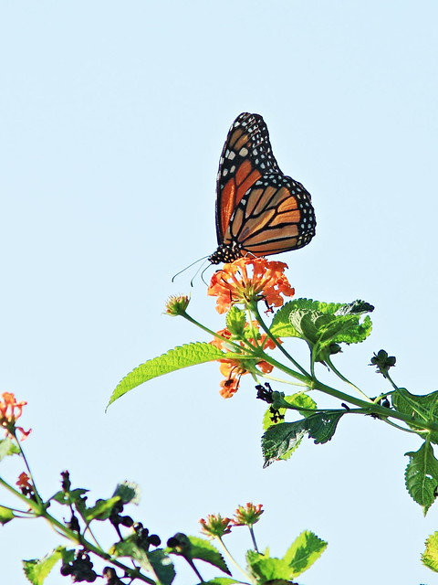 Monarch butterfly on Lantana 20131208