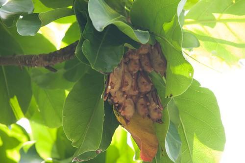 以倒掛蓮形容金黃鼻耳蝠是有道理的。(攝影:張博鈞)