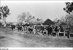 Hailstone's Bullock team in High Street, Willunga, 1916