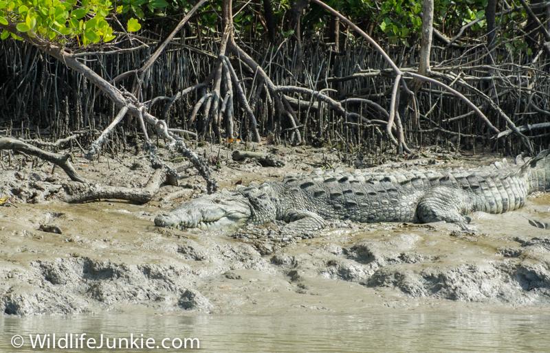 Florida Crocodile in the Everglades