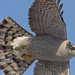 Adult Northern Goshawk by Don Delaney