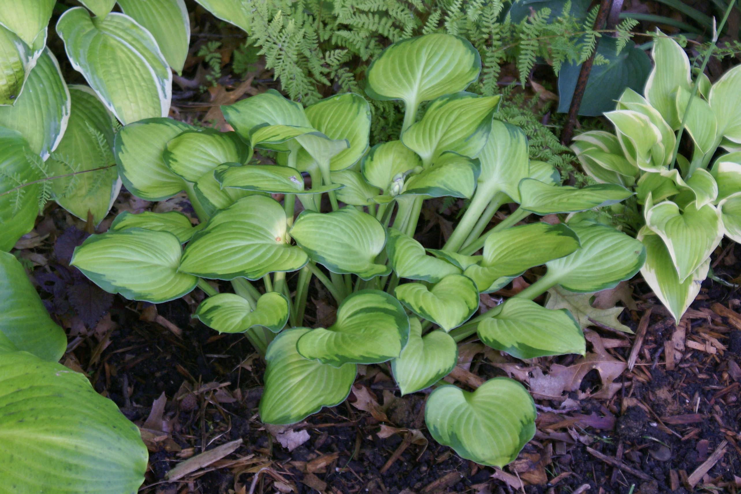 Hosta 'Wylde Green Cream' (2)(08&12)-001