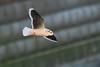 Hydrocoloeus minutus - Gaivota pequena/Little Gull by António A Gonçalves