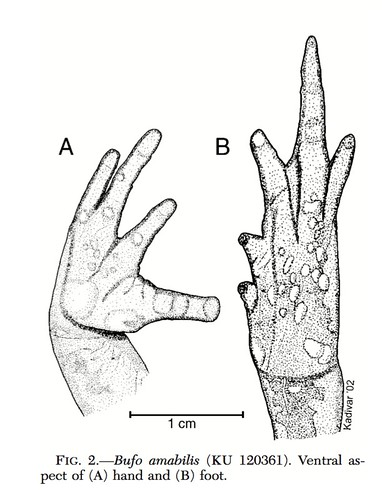 <i>Rhinella amabilis</i> Sapo amable ♀