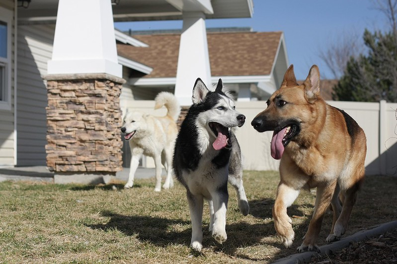 Playdate pics with our 3 and a GSD we might be adopting soon! 12961625253_bcd993ec29_c