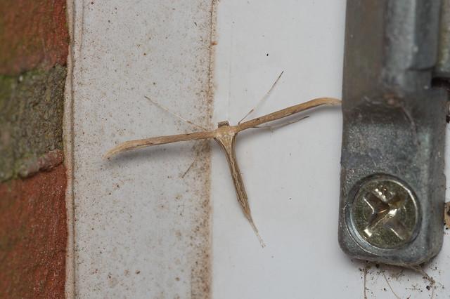 114: Emmelina monodactyla