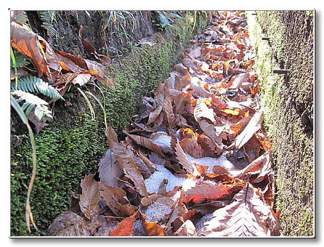 観察場所付近の側溝に積もった様々な落ち葉.今年は暖かく,雪もわずかに積もっている程度.