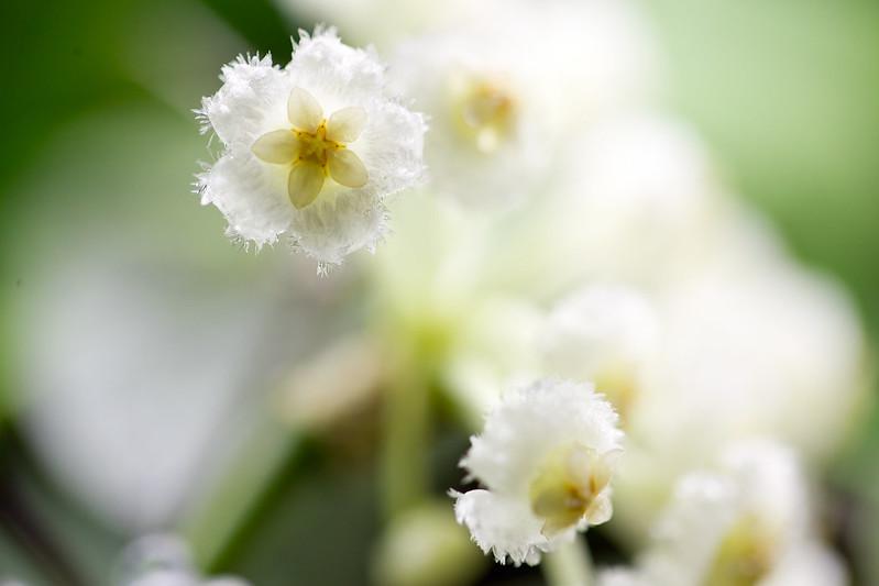 Hoya lacunosa Tove (SRQ 3026)