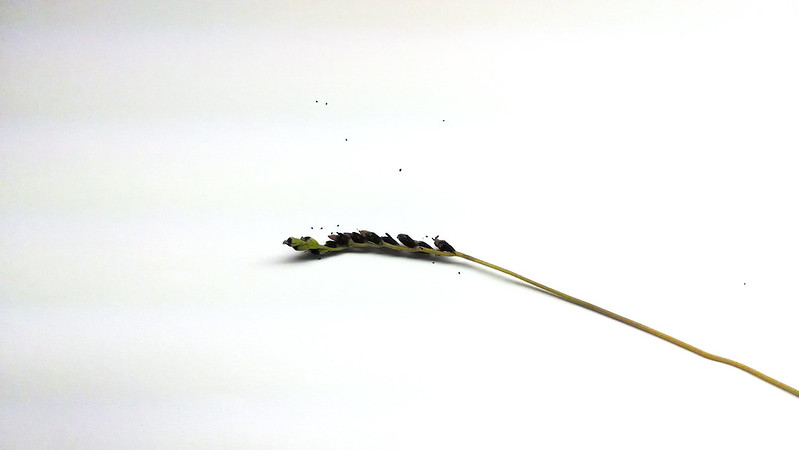 Cut Drosera capillaris flower stalk.
