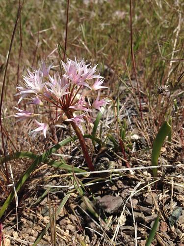 wild onion (Allium sp.)