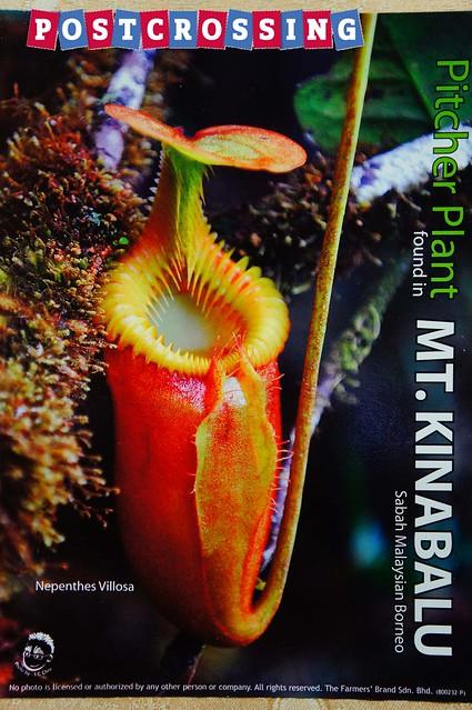 Sabah - Pitcher Plant