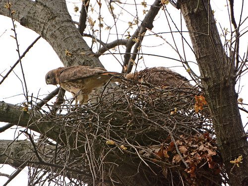 Red-Tailed Hawks in Nest (7664)