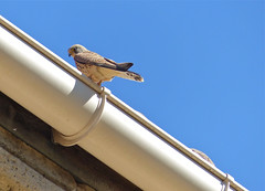Lesser Kestrel (Falco naumanni) female on a roof