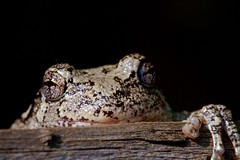animal, amphibian, toad, frog, reptile, macro photography, fauna, close-up, wildlife,