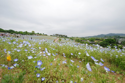 Hill of Nemophila