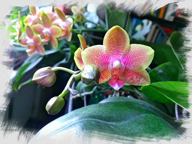 Phalaenopsis Eternal Sunrise 14176704601_398d99dd44_z