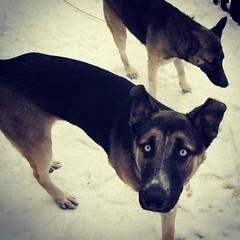 Ridiculous puppies. Picture courtesy @bergmann620. #latergram #GSD #husky #shepsky #fuppies #germanshepherddog #puppies