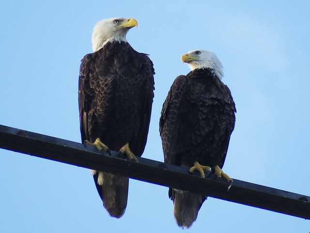 Bald Eagles (Haliaeetus leucocephalus)