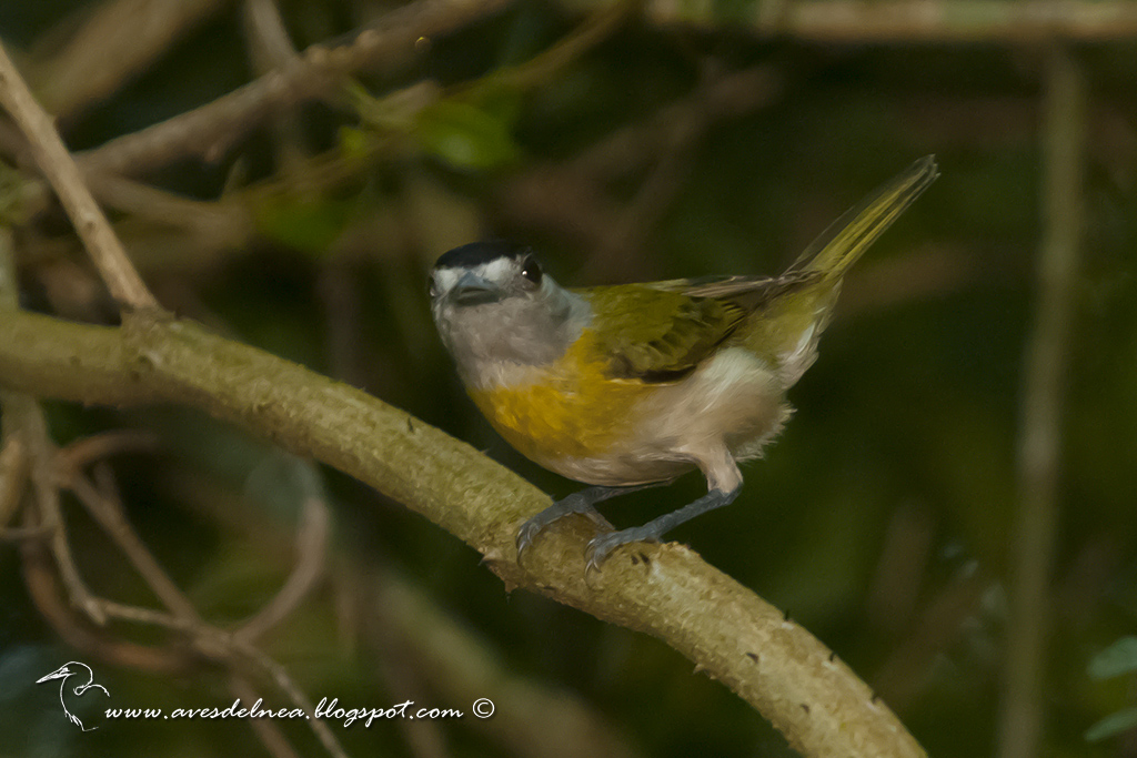 Anambé verdoso (Green-backed Becard) Pachyramphus viridis