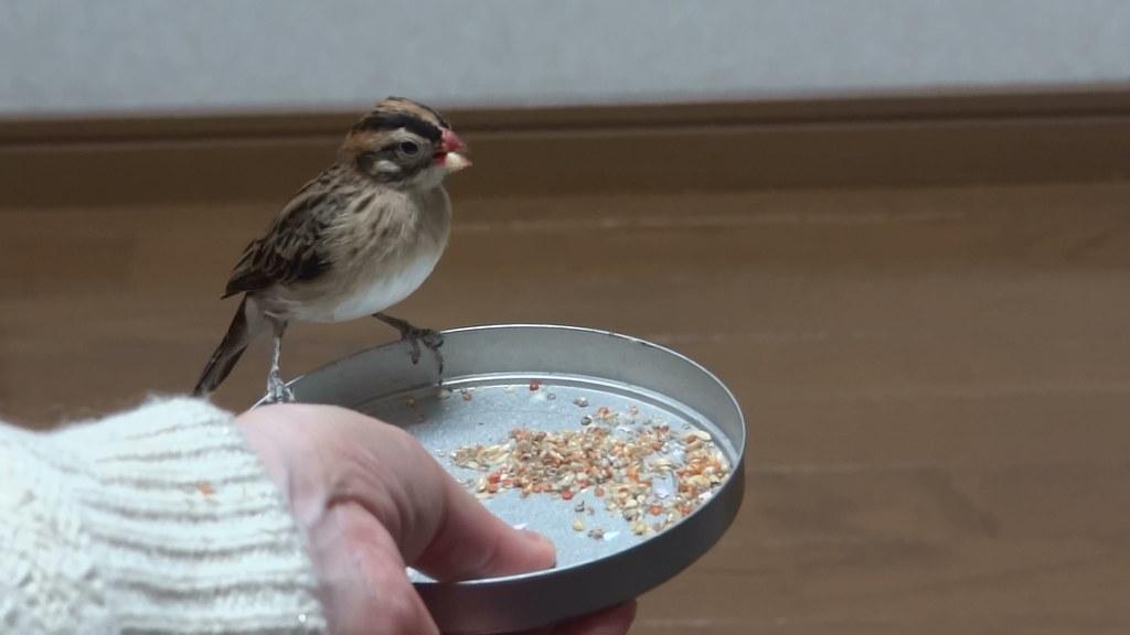 (天人鳥)ご飯でイリュージョン(3)