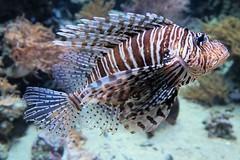 Pazifischer Rotfeuerfisch