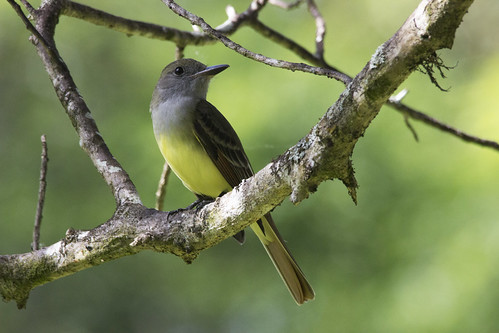 wild bird nature animal great feather swamp crested corkscrew flycatcher
