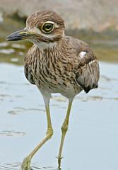 Water Thick-knee (Burhinus vermiculatus)