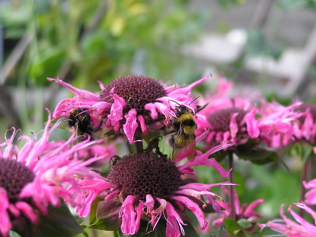 Bees on Bee Balm