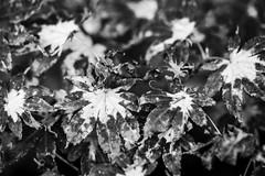 Burned Leaves
