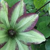 20160424_6929-green-clematis-copy-w