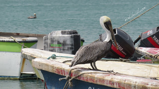 Brown Pelican (Pelecanus Occidentalis) in Port Royal. Former pirates' port and wickedest town in the World, according to 17th century statistics