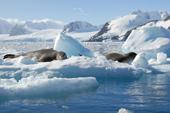 Expeditions-Trekking Antarktische Halbinsel. Robbenpärchen in der Penolastraße. Foto: Günther Härter.