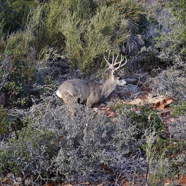 Sedona Mule Deer