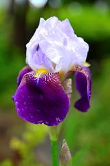 アヤメ / 菖蒲 (Siberian Iris)