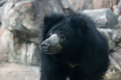Sloth Bear at the Smithsonian's National Zoo