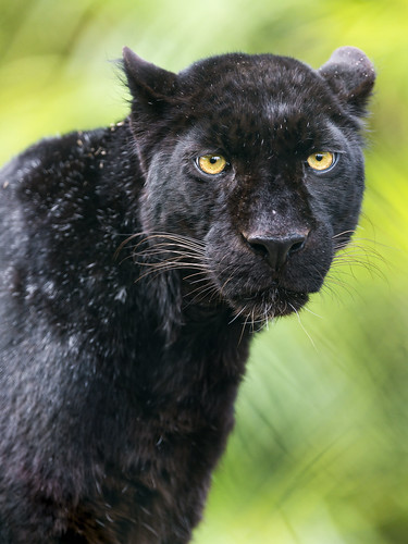A very nice black leopard by Tambako the Jaguar