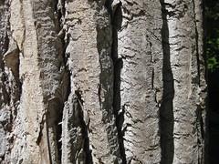 Vertical Bark