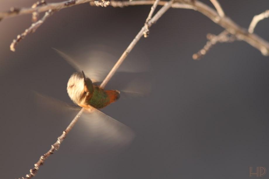 immature Allan's Hummingbird 072313