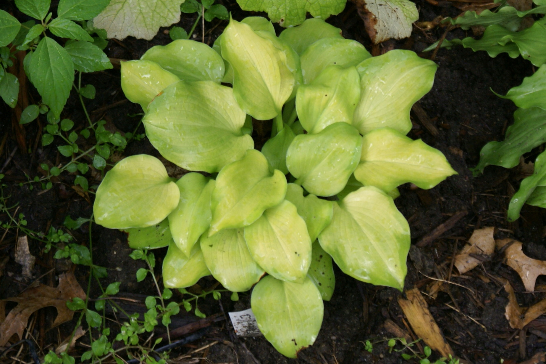 Hosta 'Vanilla Cream' (13)
