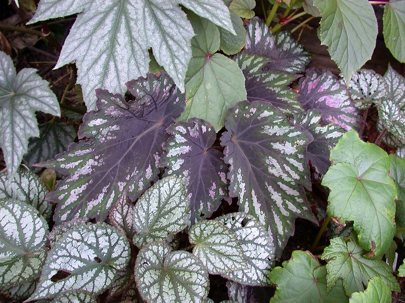 Begonia 'Helen Teupel'