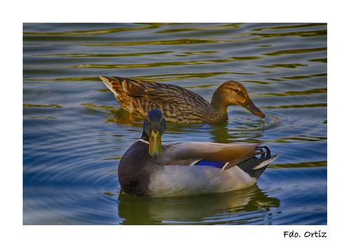 Dos bellos patos