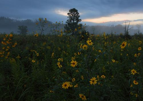 sunrise scuppernongriver statenaturalarea sawtoothsunflower tallgoldenrod scuppernongprairie kettlemorainestateforestsouth wisconsinsna scuppernongriverhabitatarea