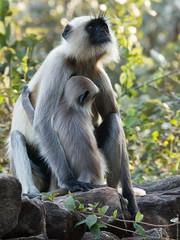 tufted capuchin(0.0), outdoor recreation(0.0), capuchin monkey(0.0), spider monkey(0.0), macaque(0.0), animal(1.0), monkey(1.0), mammal(1.0), langur(1.0), fauna(1.0), old world monkey(1.0), new world monkey(1.0), wildlife(1.0),